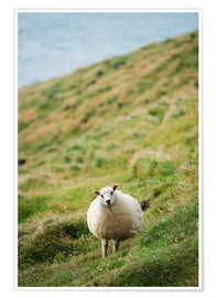 Premium poster Thick sheep, Heimaey Island