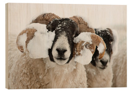 Wood print  Northumberland blackface sheep in snow, Tarset, Hexham, Northumberland, UK - Ann & Steve Toon