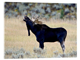 Acrylic print  Moose calling, Wasatch Mountain State Park - James Hager