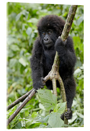 Acrylic print  Infant mountain gorilla (Gorilla gorilla beringei) from the Kwitonda group climbing a vine, Volcanoe - James Hager