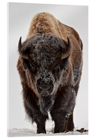 Acrylic print  Bison in winter - James Hager