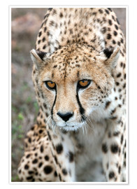 Premium poster  Cheetah on foray, South Africa - Fiona Ayerst