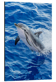 Aluminium print  Adult striped dolphin - Michael Nolan