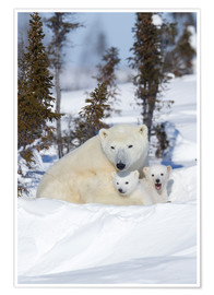 Premium poster  Polar bear (Ursus maritimus) and cubs, Wapusk National Park, Churchill, Hudson Bay, Manitoba, Canada - David Jenkins