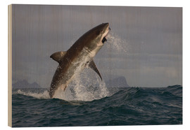 Wood print  Great white shark (Carcharodon carcharias), Seal Island, False Bay, Simonstown, Western Cape, South - David Jenkins