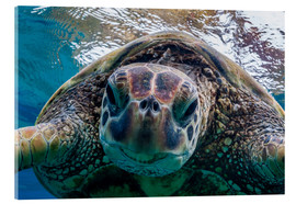 Acrylic print  Green sea turtle - Michael Nolan