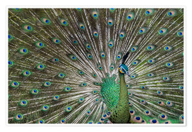Premium poster  Java green peafowl (Pavo muticus) - Gabrielle & Michel Therin-Weise