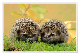 Premium poster  two little hedgehog - Uwe Fuchs