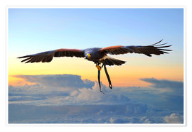 Premium poster  Desert buzzard in flight - HADYPHOTO