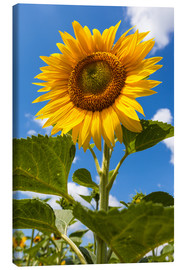 Canvas print  sunflower - Gerhard Wild