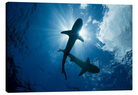 Canvas print  Blacktip reef sharks - Dave Fleetham