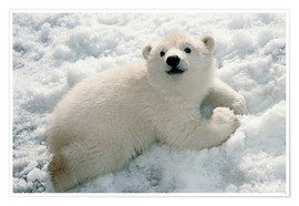 Premium poster  Young polar bear in the snow - Mark Newman