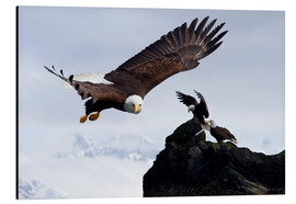 Aluminium print  Bald Eagle in flight - John Hyde