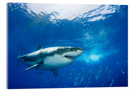 Acrylic print  Great white shark in the Caribbean - Dave Fleetham
