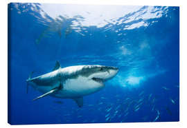Canvas print  Great white shark in the Caribbean - Dave Fleetham