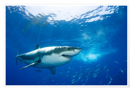 Premium poster  Great white shark in the Caribbean - Dave Fleetham