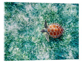 Acrylic print  Green sea turtle - M. Swiet