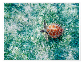 Premium poster  Green sea turtle - M. Swiet
