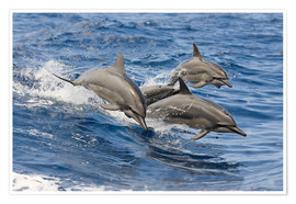 Premium poster  Dolphins jump in - Dave Fleetham