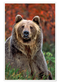 Premium poster grizzly bear