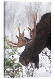 Canvas print  Moose in Winter - Philippe Henry