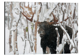 Aluminium print  Elk sniffing in a winter forest - Philippe Henry