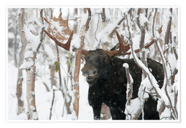 Premium poster  Elk sniffing in a winter forest - Philippe Henry