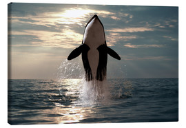 Canvas print  Orca - Jody Watt
