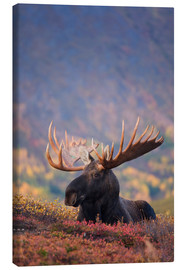 Canvas print  Moose bull in a pasture - Milo Burcham