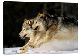 Canvas print  Pack Of Grey Wolves Running Through Deep Snow - John Hyde