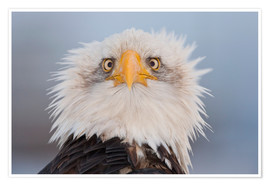 Premium poster  Young Bald Eagle - Kent Fredriksson
