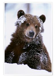 Premium poster  Grizzly in the snow - Doug Lindstrand