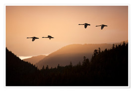 Premium poster  Swans in flight at sunset - John Hyde
