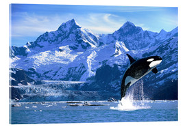 Acrylic print  Orca in front of a glacier - John Hyde