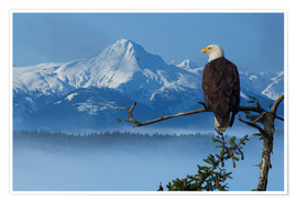 Premium poster  Bald Eagle on a Spruce - John Hyde