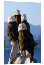 Foam board print  Bald Eagle on the shore of Kachemak Bay - Don Pitcher