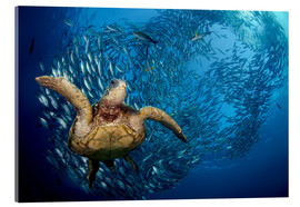 Acrylic print  Green sea turtle before Bali - Dave Fleetham