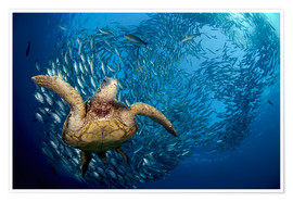 Premium poster  Green sea turtle before Bali - Dave Fleetham
