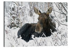 Aluminium print  Cow elk in a winter forest - Philippe Henry