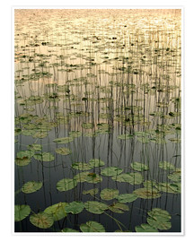 Premium poster Water lilies on the Deadman Lake