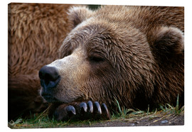 Canvas print  Sleeping brown bear - Gary Schultz