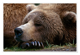 Premium poster  Sleeping brown bear - Gary Schultz