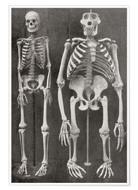 Premium poster  Skeletons Of Man and Gorilla - Ken Welsh