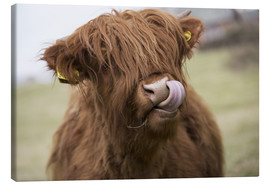 Canvas print  Highland Cattle Licking It's Lips - John Short