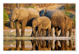 Premium poster Elephants at a river, Africa wildlife