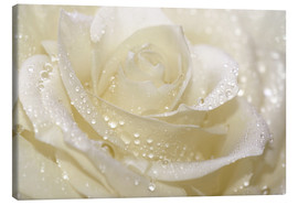 Canvas print  White rose with drops - Atteloi