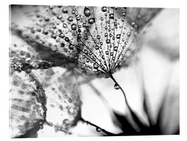 Acrylic print  Dandelion Dew in Black and White - Julia Delgado