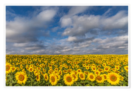 Premium poster  Sea of Sunflowers - Achim Thomae