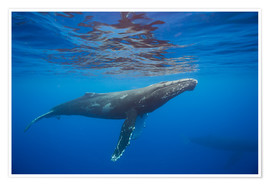 Premium poster  Humpback whale under water - Dave Fleetham