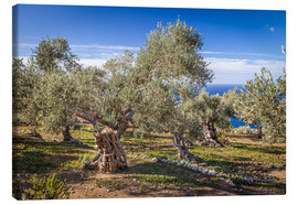 Canvas print  Ancient olive trees in Mallorca (Spain) - Christian Müringer